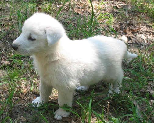 Top white german shepherd breeders